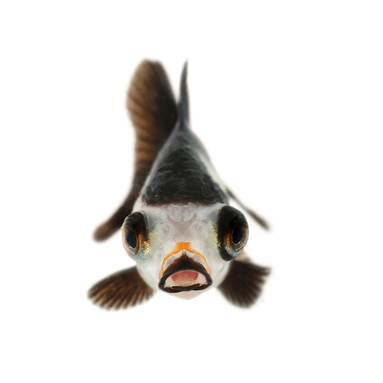 展示作品は、空間に金魚が漂っている浮遊金魚が人気の安堂真季(@wato218)や金魚の正面写真うおづらが話題の森岡篤(@at_pin_at_pin)らが新作を展示するほか、女性の姿を重ねた金魚イラストが特徴的な晴智ありさ(@xATSURIx)や墨汁金魚イラストが可愛い西野真弓(@mayumi_nishino1130)らが初出展、貴重な原画を販売予定です。