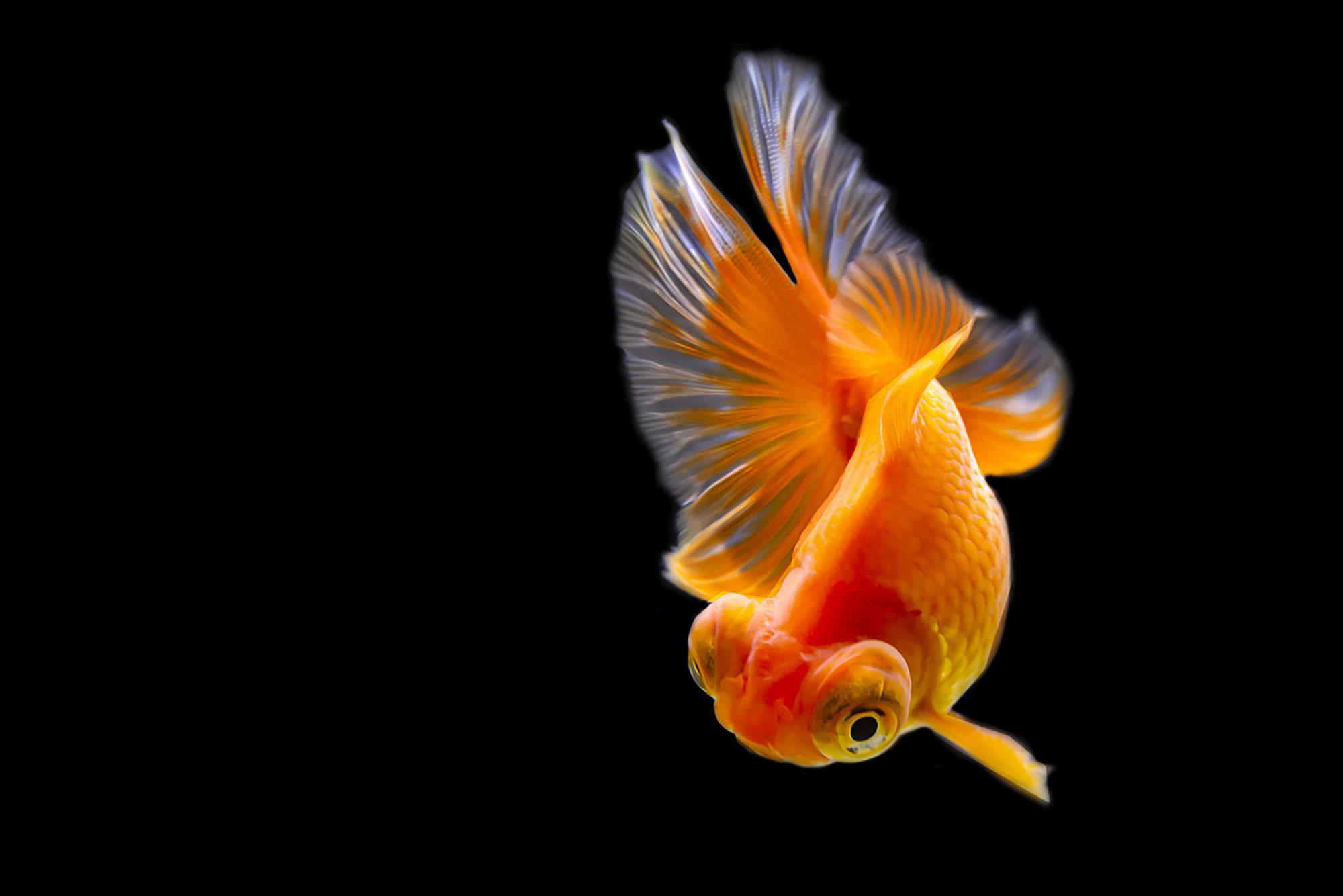 踊る金魚展2020